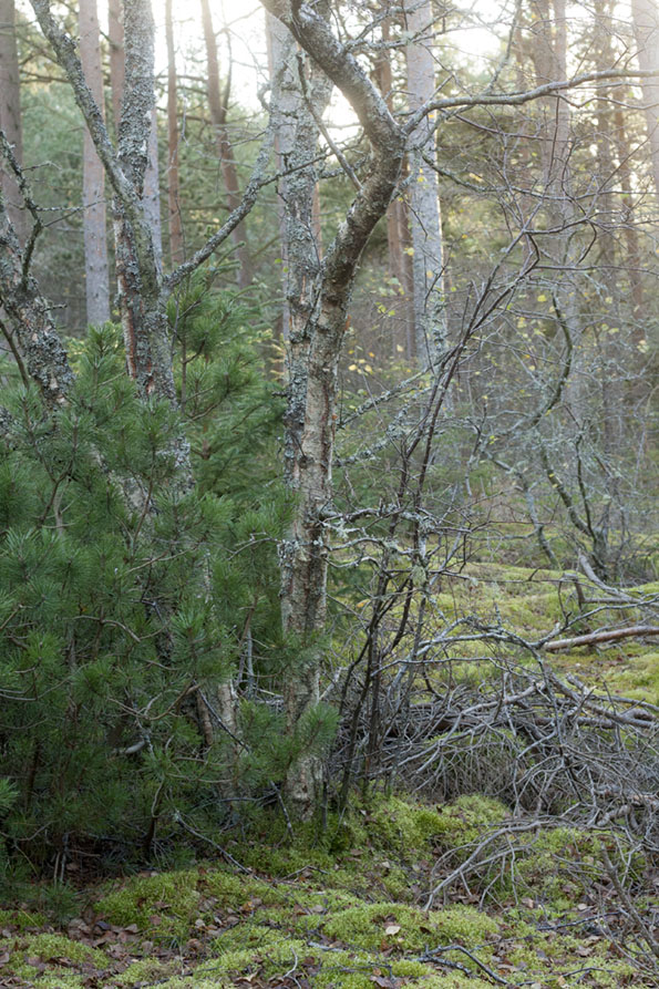 Skagen-klitplantage1